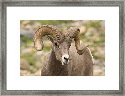 Bighorn Sheep Glacier National Park Framed Print by Sebastian Kennerknecht