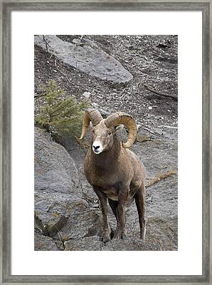Bighorn Sheep Ovis Canadensis Framed Print by Philippe Widling