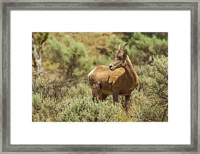 Bighorn Sheep Framed Print