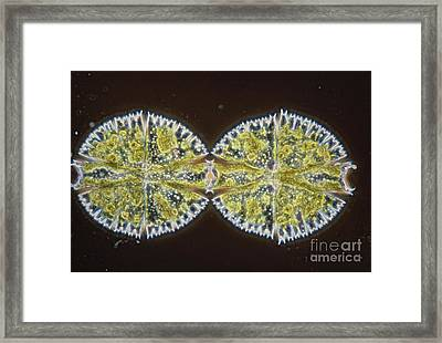 Binary Fission In Micrasterias Sp Framed Print by M. I. Walker