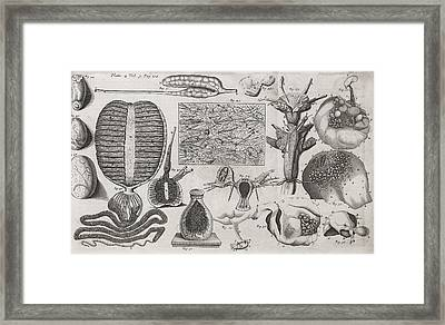 Biological Illustrations, 17th Century Framed Print by Middle Temple Library