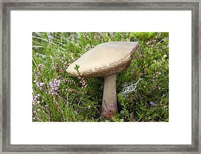 Birch Bolete (leccinum Scabrum) Mushroom Framed Print by Duncan Shaw
