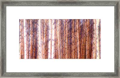 Birch Gathering  Framed Print