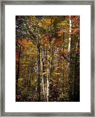Birch Trail Framed Print by Jo-Anne Gazo-McKim