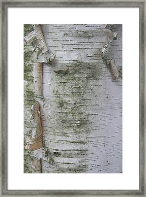 Birch Tree Framed Print by Kathy Peltomaa Lewis