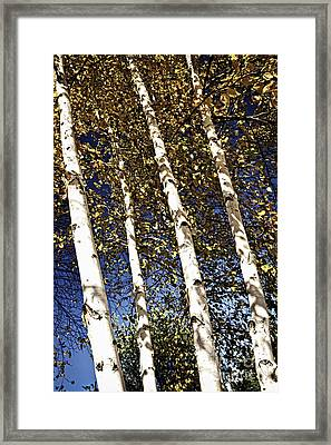 Birch Trees In Fall Framed Print by Elena Elisseeva