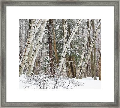 Framed Print featuring the photograph Birches by Mary McAvoy