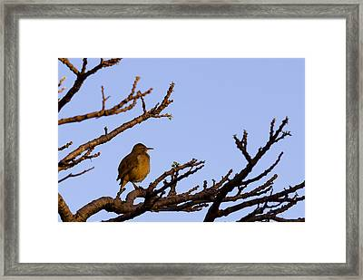 Bird In Dry Tree Framed Print by Joab Souza