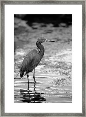 Bird In The Shallows Framed Print by Brandon McNabb