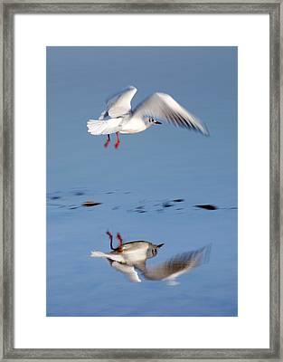Bird Landing Framed Print by John Short