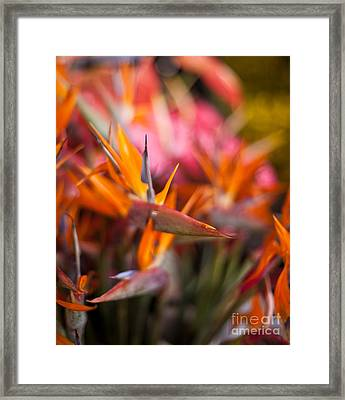 Bird Of Paradise Amongst Friends Framed Print