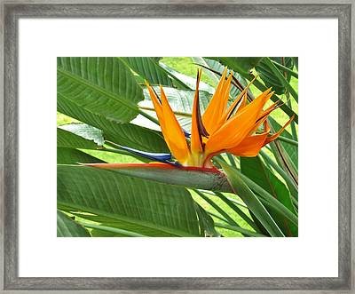 Framed Print featuring the photograph Bird Of Paradise by Craig Wood