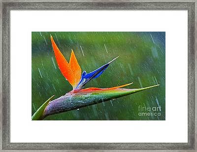 Bird-of-paradise In Rain Framed Print by Heiko Koehrer-Wagner