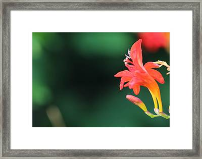 Bird Of Paradise Framed Print by Janet Mcconnell