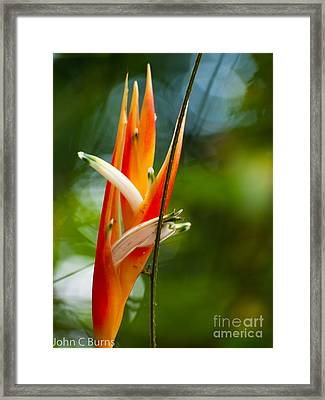 Framed Print featuring the photograph Bird Of Paradise by John Burns