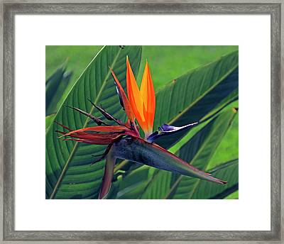Bird Of Paradise Framed Print by Larry Nieland