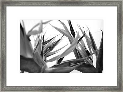 Bird Of Paradise  Framed Print by Sumit Mehndiratta