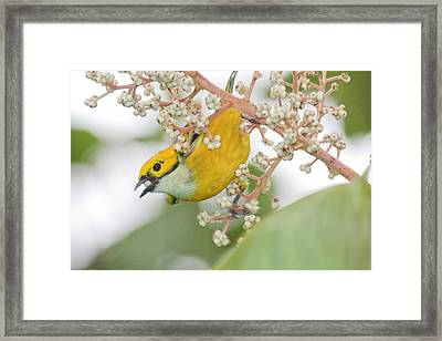 Bird With Berry Framed Print by Tom and Pat Cory