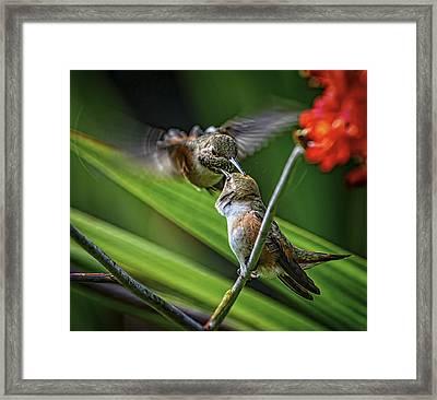 Birds Of Bc - No. 32 - Two Rufous Hummingbirds - Selasphorus Ruf Framed Print by Paul W Sharpe Aka Wizard of Wonders