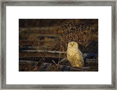Birds Of Bc - No.12 - Snowy Owl - Bubo Scandiacus Framed Print by Paul W Sharpe Aka Wizard of Wonders
