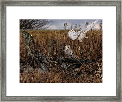 Birds Of Bc - No.14 - Snowy Owl Fly By Framed Print by Paul W Sharpe Aka Wizard of Wonders