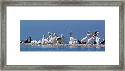 Birds Pelicans Of Cedar Key Framed Print