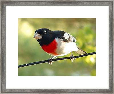 Birds Rose Breasted Grosbeak Framed Print