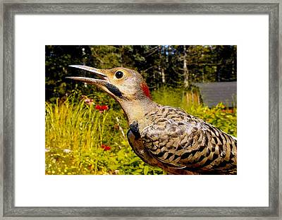 Birds Young Flicker Framed Print