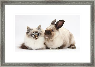 Birman Cat And Colorpoint Rabbit Framed Print by Mark Taylor