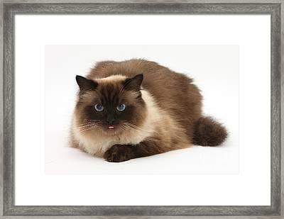 Birman-cross Cat Framed Print