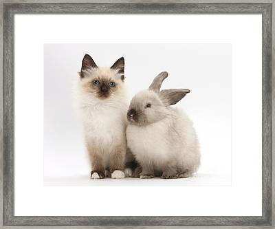 Birman-cross Kitten And Young Framed Print