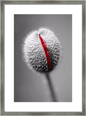 Birth Of A Poppy Framed Print by Tracie Kaska