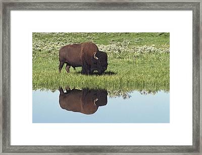 Bison Bison Bison On Grassy Meadow With Framed Print by David Ponton