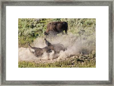 Bison Dust Bath Framed Print by Paul Cannon
