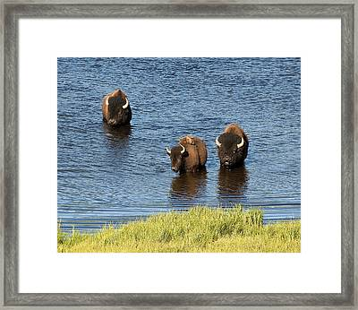 Bison Enjoying The Water Framed Print by Paul Cannon