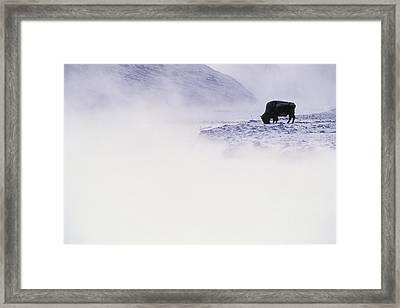 Bison Grazing In Winter Framed Print by Bobby Model