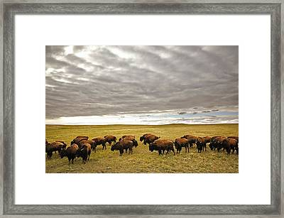 Bison Grazing, Saskatchewan, Canada Framed Print by Greg Huszar Photography