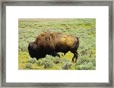 Bison Framed Print by Jeff Swan