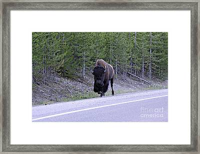 Bison On Road Framed Print