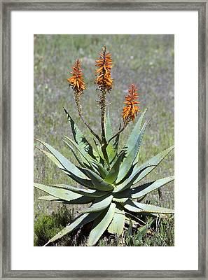 Bitter Aloe (aloe Ferox) Framed Print by Bob Gibbons