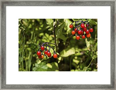 Bittersweet Berries (solanum Dulcamara) Framed Print by Dr Keith Wheeler