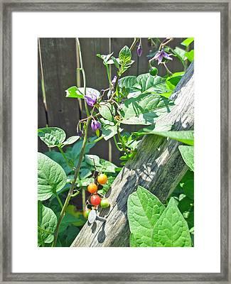 Bittersweet Nightshade - Solanum Dulcamara Framed Print by Mother Nature