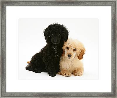 Black And Apricot Miniature Poodles Framed Print