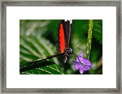 Black And Red Butterfly On A Purple Flower Framed Print