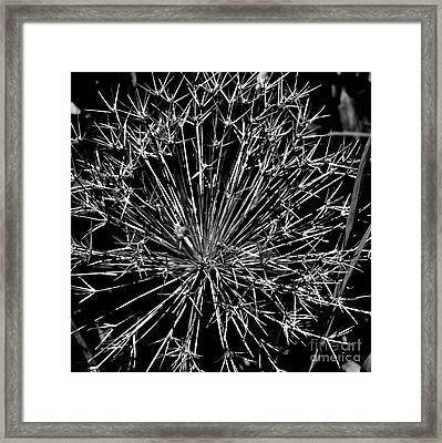 Black And White Allium  2 Framed Print by Tanya  Searcy