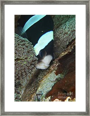 Black And White Anemone Fish Looking Framed Print by Mathieu Meur