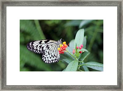 Black And White Butterfly  Framed Print by Abiy Azene