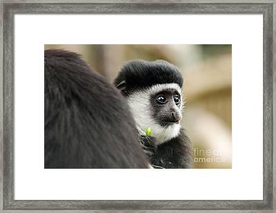 Black And White Colubus Monkey Framed Print