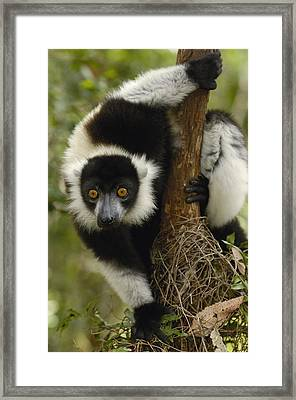 Black And White Ruffed Lemur Varecia Framed Print by Pete Oxford