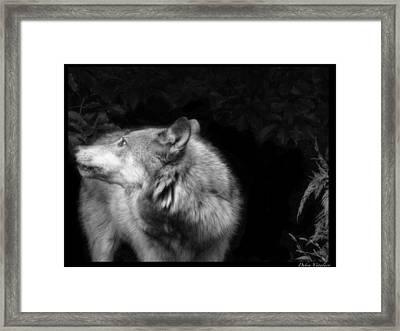 Black And White Wolf Framed Print by Debra     Vatalaro